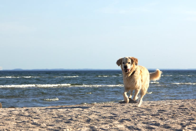 Golden Retriever rennt am Strand